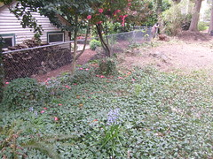 S7300612 (pieisexactlythree) Tags: home yard garden weeds blackberry ivy patio
