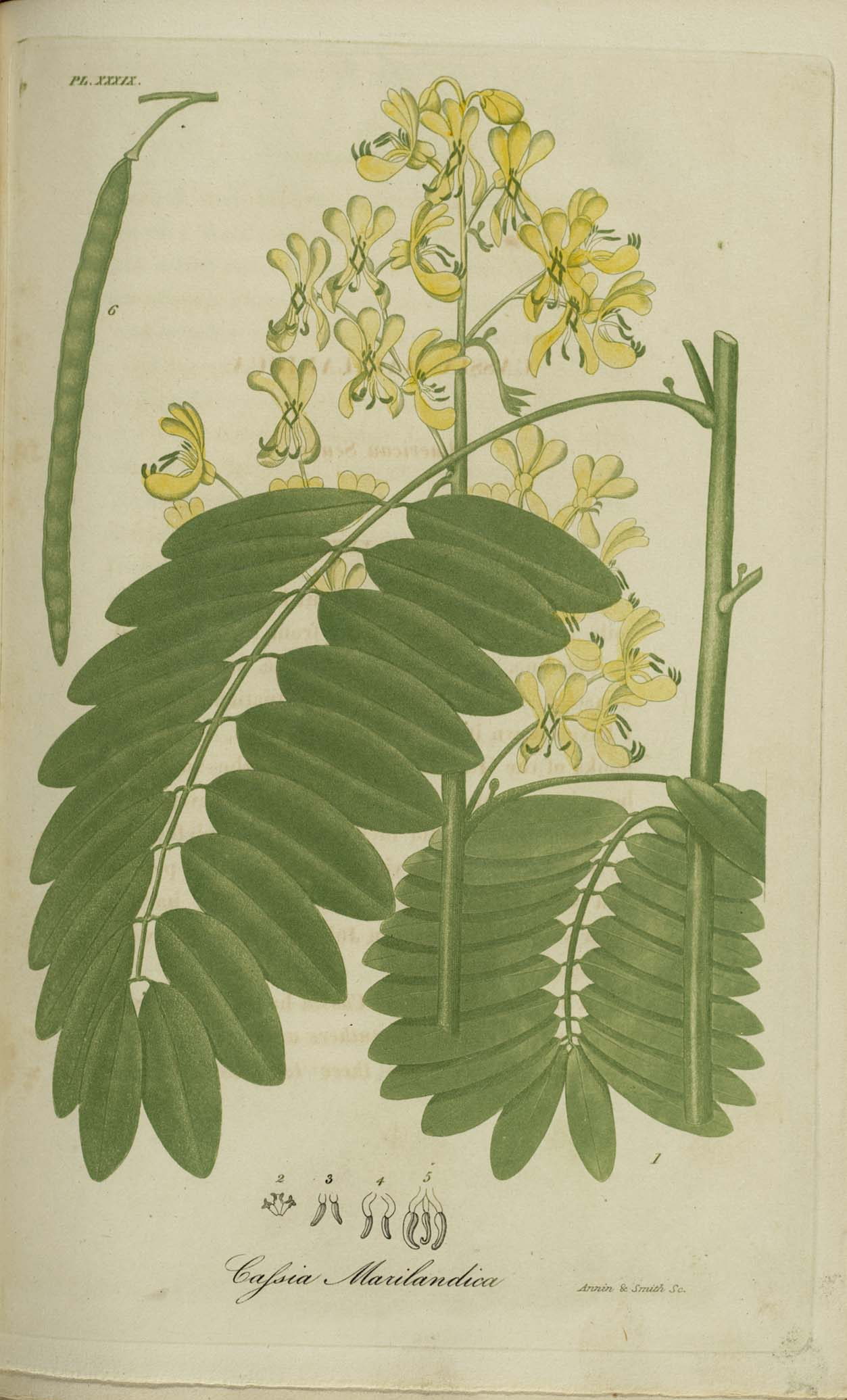 Image of Cassia marilandica