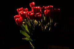 tulips in the sunbeam (Crownrange) Tags: flowers tulips sunbeam sonyalpha beautyunnoticed