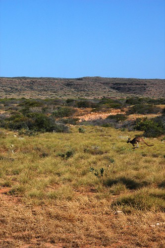 kangaroo in action
