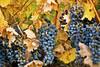Grapes 0099 (Kurt Preissler) Tags: california fall vintage vineyard vines wine vine winery pch highway1 grapes making slo vino winemaking wein sanluisobispocounty vinery californiawines ushighway101 weinberge canoneos5d appellation winegrowing kurtpreissler preisslermediaservices