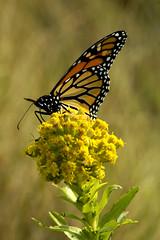 Monarch Butterfly, Plum Island, MA (flyingibis) Tags: