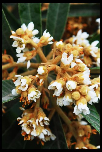 loquat bloom