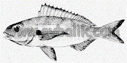 2054650809 a160d37c7e mercan balığı nasıl avlanır