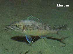2055436862 9c0f97a5eb mercan balığı nasıl avlanır