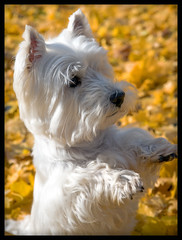 (paulh192) Tags: autumn dog leaves kirby sitting michigan westie westhighlandwhiteterrier grandrapids autumncolor mulickpark mywinners