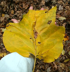 Giant Autumn  Leaf (Stanley Zimny (Thank You for 19 Million views)) Tags: autumn fall nature leaf hand tulip ramapolake