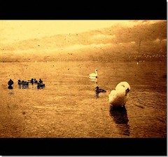 The swans (70) Tags: lake sepia swan bravo soe hdr cigni themoulinrouge outstandingshots mywinners impressedbeauty infinestyle myriam70 omaggioadimitri