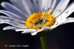 grillino (romano.mannini) Tags: insetti