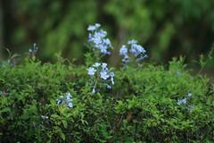 Lilac flowers (Swami Stream) Tags: flowers blue india canon landscape evening karnataka plumbago swami swaminathan clubcabana blueribbonwinner platinumphoto swamistream swamistreamcom