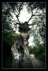 Taurus (zane) Tags: tree head olive sicily taurus sigma1020