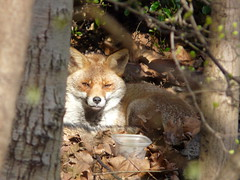 Fox in Russia Dock Woodland