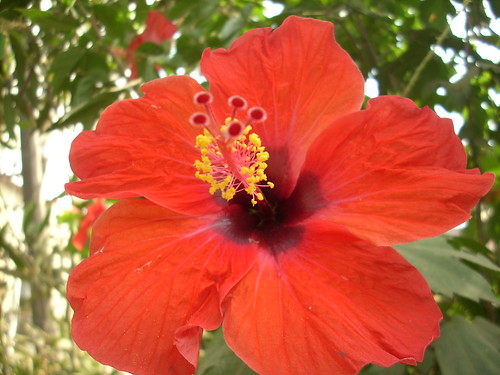 the many uses of hibiscus flower, Natural flower