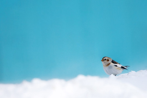 Snow Bunting by imapix.