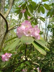 Rhododendron (olga_rashida) Tags: flowers blumen rhododendron blooms blten blueribbonwinner
