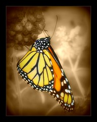 """Butterfly"" (tonyj19) Tags: orange sepia butterfly pollen selectivecolor"