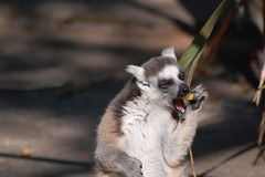 DSC_0678 (sener_tr) Tags: barcelona travel vacation animal d50 zoo photo spain nikon europa europe catalonia espana photograph lemur animales catalunya animaux animali tier dyr gezi espanya avrupa hayvan barselona seyahat bahçesi ispanya turkishphotographer hayvanat katalunya zwierzat katalonya zvirat animalsk dierlijke elainten animaliskt
