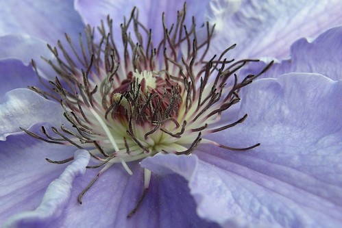 What Is the Meaning of the Clematis?