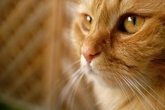 minnie (kuehwi) Tags: look animal animals cat nikon katze minnie gatto gatti aside d40