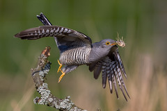 Cuckoo (Simon Stobart) Tags: cuckoo male nesting material flying branch takeoff northeastengland ngc npc nature through the lens