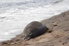 Seal Monk (i_goupil) Tags: hawaii bigisland kalaoa beach sable sand phoque monkseal seal water eau