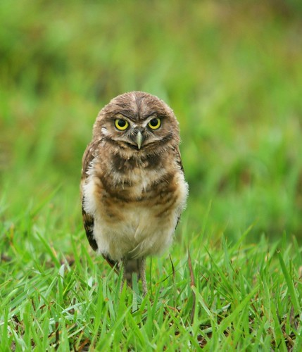 burrowing owl7
