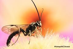 Soldier Fly........Explore (graftedno1) Tags: bug nikon d300 180mm naturesfinest natureselegantshots ahqmacro keepitclose notyournormalbug flickrunitedwinner