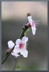 HADONG Cherry Blossom II (Flitze50) Tags: cherry spring blossom korea cherryblossom southkorea fruehling kirschbluete hadong hwagae