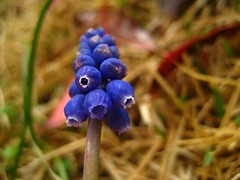 (Alejandro Imperial) Tags: blue plant flower color macro nature contrast canon spring purple god bokeh powershot grapes thankful blooms grape hyacinth muscari sd1000