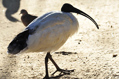 Ibis (picsie14) Tags: white black bird animals interestingness interesting funny wildlife sydney beak australia ibis nsw featherdale birdwatching 80400mm australiananimals interestingness2 longlens birdsofaustralia d700 nikond700
