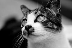 Marumoshi's eyes (Jaya | Khidir) Tags: woman cats white black cat canon eyes lol kitty 85mm meow jupiter emerald sapphire f20 550d