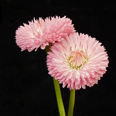 English Daisy (njchow82) Tags: pink plant flower nature closeup onblack englishdaisy beautifulexpression naturallymagnificent njchow82 dmcfz35