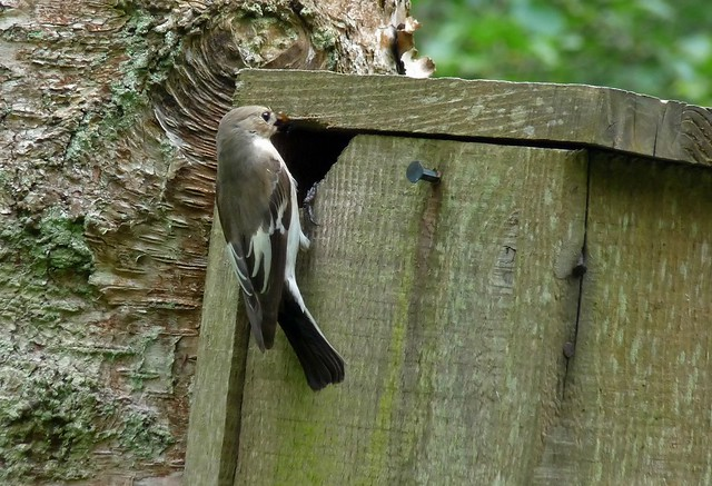 24440 - Pied Flycatcher, Elan Valley