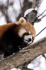 Red Panda (kumakichi) Tags: winter animal zoo hokkaido   f56     11000 asahikawa  iso500  11000sec 260mm