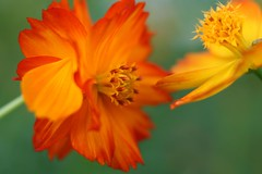 close together (veyan1977) Tags: orange yellow  cosmos okayama    flwoer  ef50f18