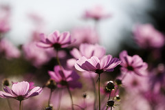 pink cosmos (* Yumi *) Tags: pink autumn favorite flower explore popular cosmos  naturesfinest yourfavorite 100faves 25faves golddragon platinumphoto 75faves thegoldenmermaid