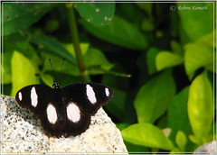 HL-Butterfly-GreatEggfly-Male
