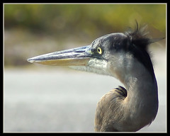 Great Blue Heron (byard) Tags: bird alabama explore greatblueheron fortmorgan photofaceoffwinner pfogold picswithsoul