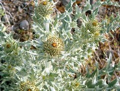 Star Thistle (madriverrose) Tags: cassidy patricia bestnaturetnc06