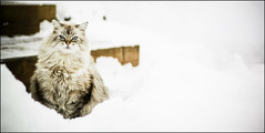 Hey! (KennethMoyle) Tags: winter snow cat katia blueeyes lightroom 50mmf18 imagemagick