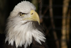 eagle face (seeit_snapit) Tags: bird zoo texas forsale waco eagle sony soe naturesfinest challengeyouwinner mywinners shieldofexcellence alphadslra100 seeitsnapit betterthangood photobydeedee