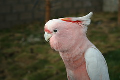 pink cockatoo (shhhush) Tags: pink bird beak feathers parrot crest cockatoo specanimal majormitchellscockatoo