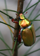 Christmas Beetle (Greg Miles) Tags: coleoptera christmasbeetle naturesfinest fpc scarabaeidae rutelinae anoplognathusspecies specanimal specinsect abcopen:project=upclose