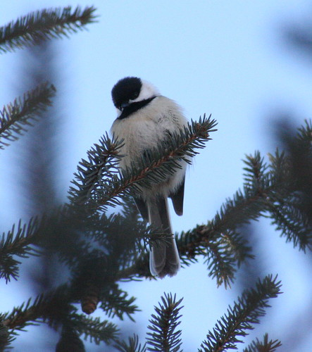 black-capped chickadee 02