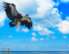 Vulture in a blue sky (* Thierry *) Tags: blue sea sky bird clouds island bigbird vulture vautour anawesomeshot