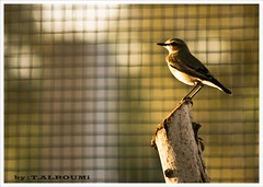 waiting for runaway (T.ALRoumi) Tags: bird canon 300mm kuwait q8   400d  kuwaitbirds