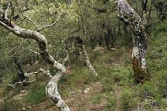 d0802268 (m-klueber.de) Tags: en espaa ruta de spain quercus flora pflanze serra sec 2008 mallorca wald pedra spanien majorca mediterran balearen ilex eiche tramuntana serradetramuntana mediterrane fagaceae steineiche khler massanella sdeuropa pflanzenwelt bltenfarbe sdeuropisch mediterraneflora 20080416 rutadepedraensec steineichenwald mk2008mall d0802268 mk2008mall10 d0801268 mk2008mallserra mkbildkatalog