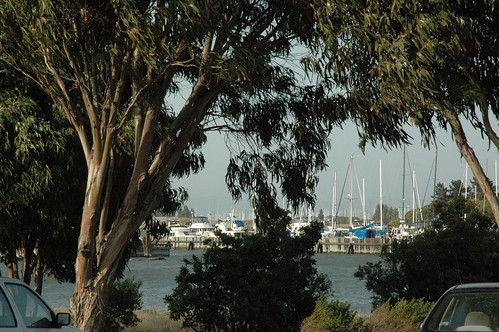 eucalyptus trees and boats