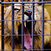 Raja, Male India Lion of Nogeyama Zoo : インドライオンのラージャ(野毛山動物園)