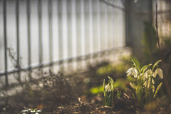 Gang In The Garden (HFF) (Stefan (back from Scotland, but need some time)) Tags: hff fence fencefriday fencedfriday happyfencedfriday happyfencefriday schneeglöckchen snowdrop snowdrops spring frühling pflanze plant nature natur zaun freitag tgif sonya7 sonya7m2 sony a7ii meyergörlitz meyergörlitztrioplan28100 trioplan trioplan28100